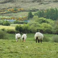 Schafe in Irland begegnen nicht nur Auswanderern in Irland an jeder Ecke