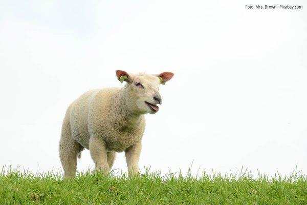 Einzelnes Schaf guckt