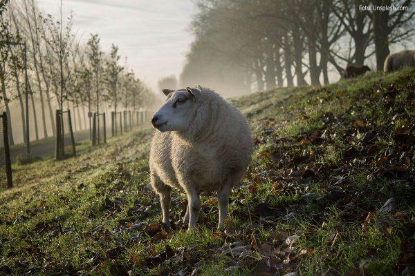 Herbstlandschaft mit Schaf