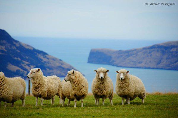 Küstenlandschaft mit Schafen