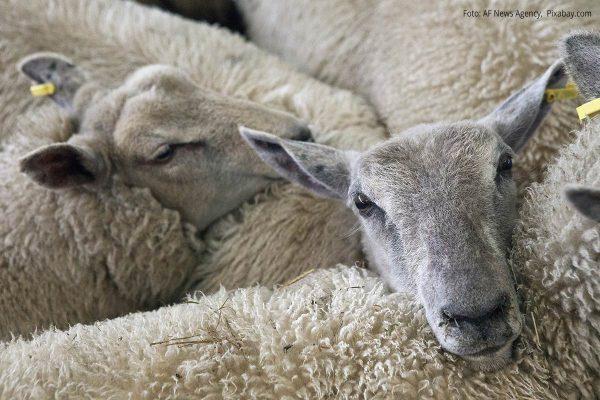 Kuschelnde Schafe