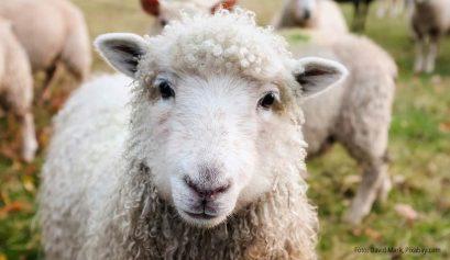Mein schönstes Schaf
