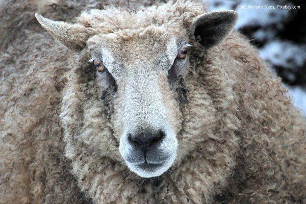 Schaf mit schönem Fell