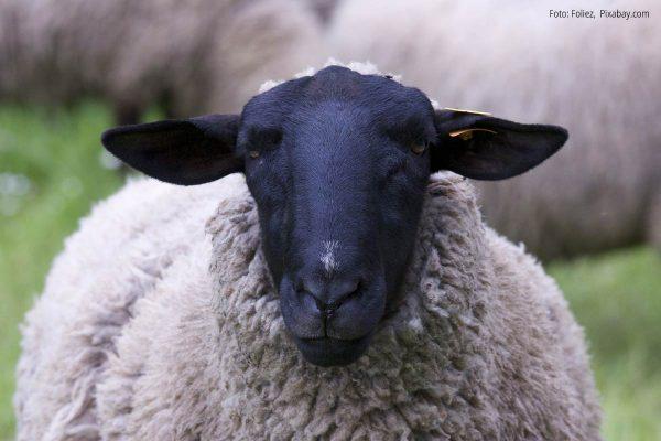 Schaf mit schwarzem Kopf