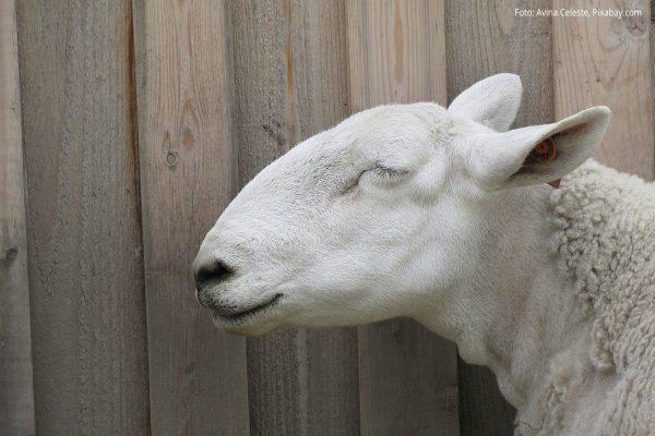 Schaf steht vor Holzwand