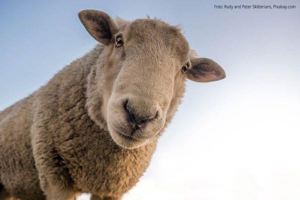 Schaf vor blauem Himmel