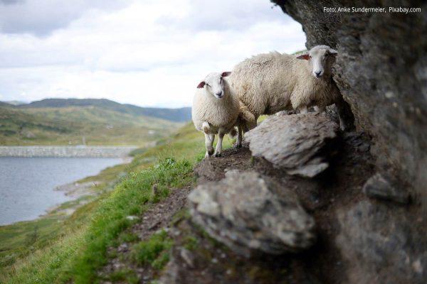 Zwei Schafe stehen auf Steinen