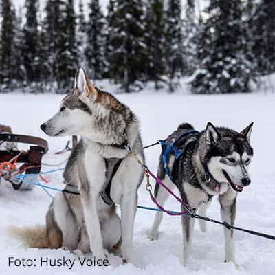 Winter Highlights in Schweden: Huskys in Kiruna