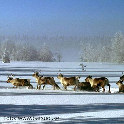 Rentiere in Malå