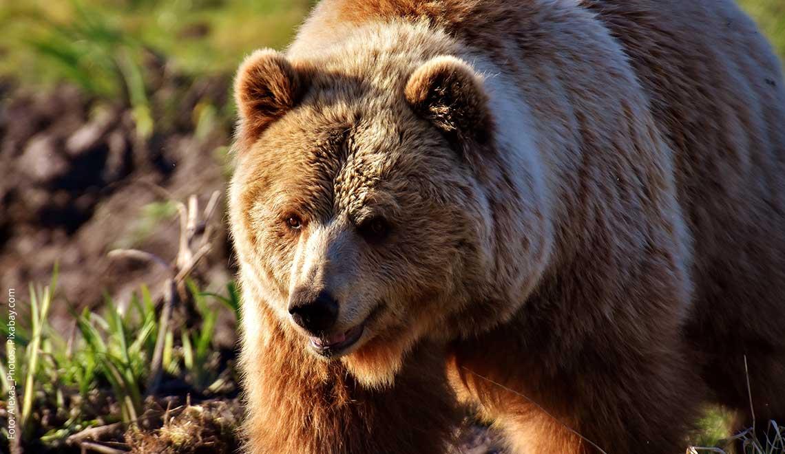 Bären Tipps: Drei Tipps für Aufenthalte in Bärengebieten