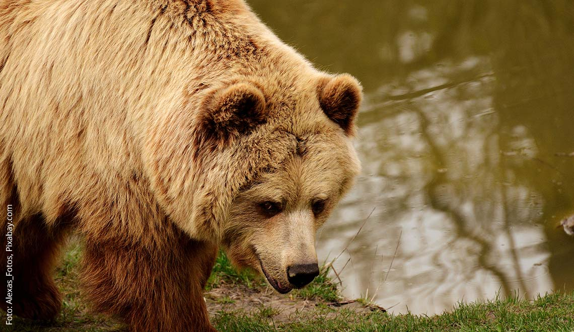 Achten Bären Mythen