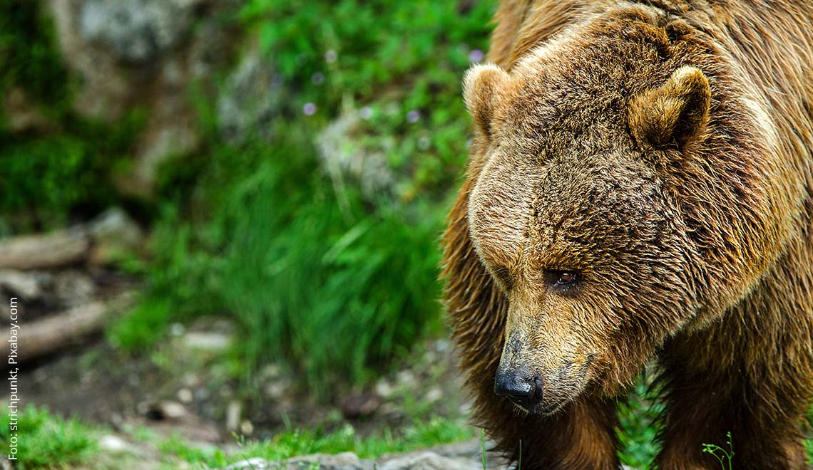 Bären Mythen