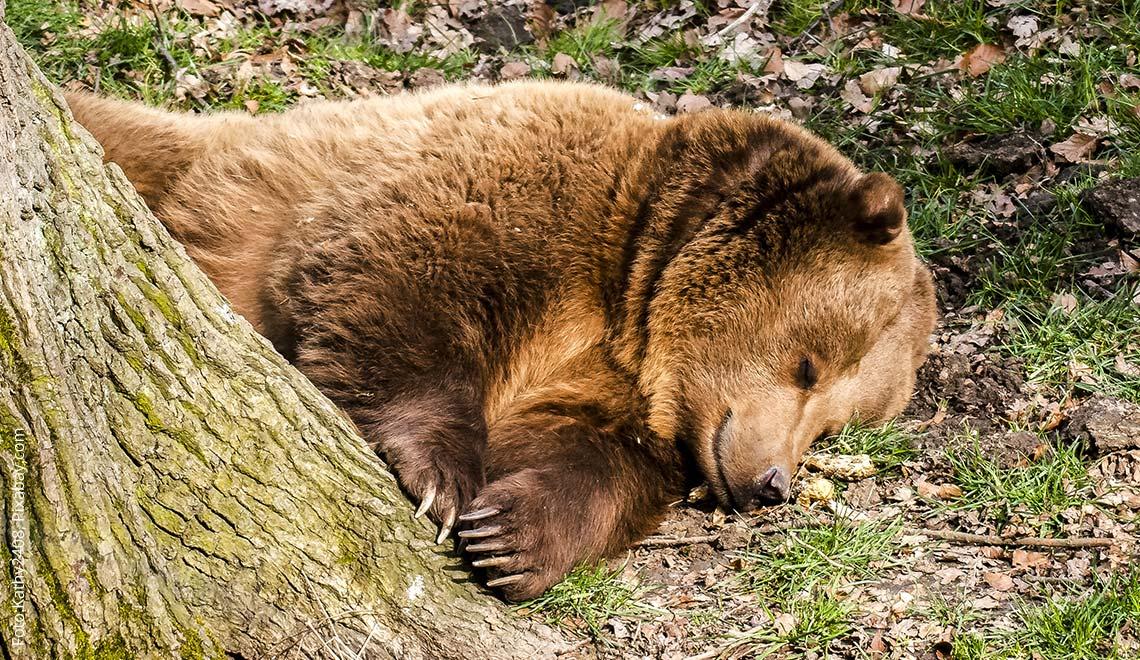 Ein schlafender Bär